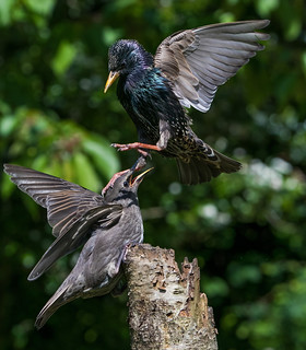 Starling scolding