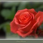 red rose thumbnail