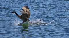 Touchdown (swong95765) Tags: goose bird animal landing water river form feathers wings splash