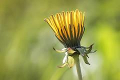 tiny visitor (Bea Antoni) Tags: frühling spring sommer summer bokeh green grün licht light canon tamron nahaufnahme closeup natur nature yellow gelb blume flower makro macro