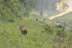 Refugees (clayguthrie13) Tags: missouri flood mississippiriver deer whitetail spring water ditchbank grass morning sunrise