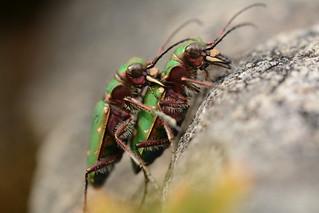 tiger beetles (Cicindela campestris) - mating pair number 2