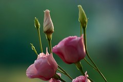 Pink lisianthi (AngharadW) Tags: explore goldenhour petal stem pink green angharadw dof macro flower lisianthus