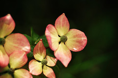 IMG_6770 (annapolis_rose) Tags: pinkdogwood dogwood vancouver flower raindrops campus ubc flora wet