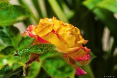 GIALLO VERDE E ROSSO    ----    YELLOW GREEN AND RED      ------      EXPLORE (cune1) Tags: italia italy lazio canalemonterano fiori flowers rosa