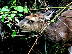 Afternoon snack (EcoSnake) Tags: deer snacking leaves spring june eating idahofishandgame naturecenter