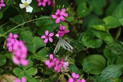 IMG_0897 (okiee8125) Tags: 東高根森林公園 蝶々