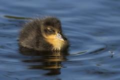 Ooh...a fly fly by (t.schwarze) Tags: duckling entenküken fly fliege water wasser blue blau sunny sonnig bird vogel animal tier ll l
