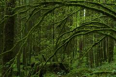 May 18, 2017 (Kristian Francke) Tags: outdoors landscape maple vine woodland green pentax