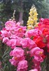 (Iggy Y) Tags: antirrhinum majus spring blossom flowers red yellow pink color flower green leaves velikazijevalica velika zjevalica snapdragon nature park plant day light