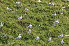 We Should Have Booked Earlier (gecko47) Tags: bird birds gulls seagulls seabirds larusnovaehollandiae colony rookery nests nesting breeding chicks young capewoolamai phillipisland flock grass hillside