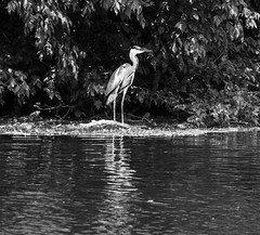 heron in the middle crop bw (PDKImages) Tags: bergerac france reflections water gironde heron bridge river dordogne waterfront