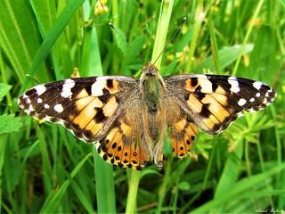 Butterfly 1327