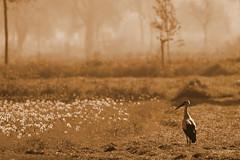IMG_012102 - In the morning (Monique van Gompel) Tags: sepia 7dwf tamronsp150600mmg2 landscape landschap stork ooievaar whitestork natuur nature