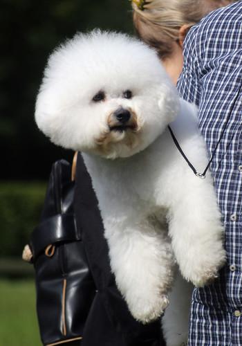 Bichon Frisé at dog show