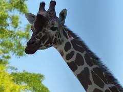 Netzgiraffe (Chriest) Tags: artisamsterdam netzgiraffe giraffacamelopardalisreticulata