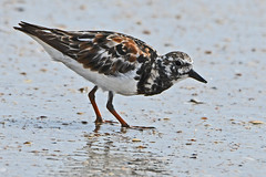 Ruddy Turnstone (Stan in FL) Tags: arenaria interpres ruddy turnstone birds birding st augustine beach anastasia state park florida fl nature natur nikon d500