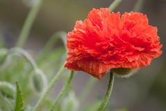 Les pavots - I (Joanne Levesque) Tags: pavots poppies orange floraison bloom printemps spring closeup proxy nature fleurs flowers montrealsbotanicalgarden jardinbotaniquedemontréal nikond90