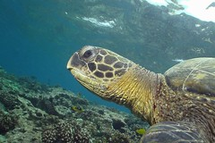 honu head (BarryFackler) Tags: marinelife aquatic organism being creature tropical hawaiiisland reef kona nature marinereptile turtle cmydas honu hawaiiangreenseaturtle reptile seaturtle cheloniamydas greenseaturtle vertebrate marine honaunaubay 2017 diver animal ocean underwater barryfackler scuba sea dive zoology bay fauna hawaii marineecology island water westhawaii ecology ecosystem undersea outdoor polynesia pacific pacificocean marinebiology marineecosystem barronfackler bigisland biology bigislanddiving coral coralreef diving southkona seacreature sealifecamera sandwichislands saltwater honaunau hawaiicounty hawaiianislands konacoast konadiving hawaiidiving life explore inexplore explored profile head