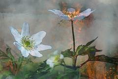 Burnin' (evisdotter) Tags: burnin cue 2in1 myart flower blommor gimp cartoon fire eld