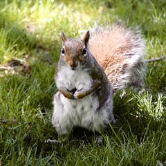 Squirrel (Read2me) Tags: cye bostoncommon animal mammal squirrel challengeclubwinner tcfunanimous thechallengefactory pregamewinner gamesweepwinner square perpetual perpetualchallengewinner friendlychallenges