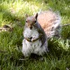 Squirrel (Read2me) Tags: cye bostoncommon animal mammal squirrel challengeclubwinner tcfunanimous thechallengefactory pregamewinner gamesweepwinner square perpetual perpetualchallengewinner