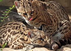 Margay artis BB2A2202 (j.a.kok) Tags: mammal margay margaycat feliswiedii kat cat zoogdier dier artis animal southamerica zuidamerika predator feline