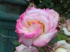 WP_20170516_12_04_52_Pro (vale 83) Tags: rose microsoft lumia 550 macrodreams friends wpphoto wearejuxt coloursplosion colourartaward