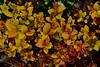 spirea goldflame Спирея DSC_0683 (Me now0) Tags: следобед софиябългарияевропа юженпарк никонд5300 китовобектив 1855mmf3556 цвете afternoon пролет spring europe nikond5300 basiclens park spireagoldflame спирея