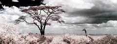 heads above most trees ! (photoautomotive) Tags: acacia kenya eastafrica nairobinationalpark nairobi giraffe animal clouds sky tree infrared ir falsecolour panorama savanna outside outdoor acaciatree