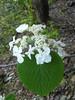 Viburnum lantanoides (tammoreichgelt) Tags: white inflorescence leaf foliage minnewaska adoxaceae hobblebush witch hobble american wayfaring tree moosewood