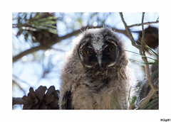 Hibou moyen-duc : juvénile (gilbert.calatayud) Tags: asiootus hiboumoyenduc longearedowl strigidés strigiformes bird oiseau les aiguamolls espagne
