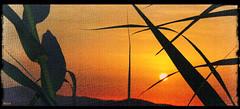 Couchant (Malikraoulda) Tags: couchant coucher de soleil feuilles roseaux