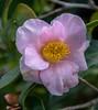 (Jocey K) Tags: southisland newzealand nikond750 christchurch monavale camellia flower