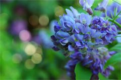 wisteria........... (atsjebosma) Tags: boke blauweregen wisteria bloem tuin bokeh atsjebosma groningen thenetherlands nederland may mei spring 2017 ngc npc