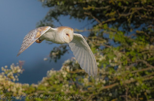 Barn Owl - (Tyto alba) Best viewed large