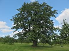 Der Alte Hochstädter Speyerling (nordelch61) Tags: speierling frucht baum apfelähnlich zutat apfelwein hochstädter obstbaum wetterau obermörlen hessen tree