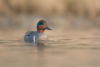 Green- winged Teal / Sarcelle à ailes vertes