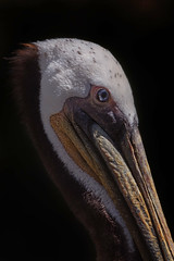 Pelican (Cruzin Canines Photography) Tags: animal animals canon canoneos5ds canon5ds 5ds eos5ds tamron tamronsp150600mmf563divcusd lowkey bird birds pelican outdoors outside nature naturallight naturepreserve closeup portrait california calm californialivingmuseum kerncounty bakersfield zoo telephoto wildlife wild wildanimal