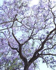 Jacaranda Tree (hopedorman) Tags: nature outdoor nopostprocessing jacaranda jacarandas jacarandatree purple plant sky
