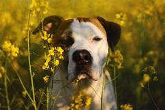20/52 rhapsody in yellow (Jutta Bauer) Tags: 52weeksfordogs 52weeksforedgar 2052 edgar excellentedgar dog boxermix pitbullmix yellow field spring may portrait