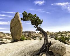 Jumbo Rocks, Joshua Tree National Park (punahou77) Tags: landscape joshuatreenationalpark joshuatree nature nationalpark nikond500 california clouds granite rocks rock desert punahou77 park tree perspective