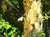 2017 5 28 Alta Valle Intelvi, Picchio muratore (mario_ghezzi) Tags: lanzodintelvi lombardia italia intelvi valledintelvi nikon coolpix nikoncoolpix p7000 coolpixp7000 nikonp7000 nikoncoolpixp7000 marioghezzi noreflex altavalleintelvi 2017 picchiomuratore