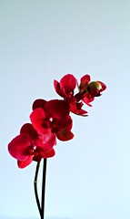 Red Orchid (Jeren N Turoonju) Tags: red orchid flowers blue positivity orchids