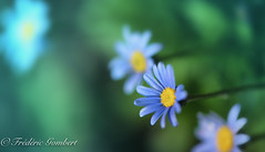 Still in the light (frederic.gombert) Tags: aster flower flowers tiny small garden color blue yellow green light sun sunlight macro nikon 105mm