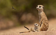 Suricate mother and pup watching a wasp flying past (coolwallpaperfan123) Tags: suricatemotherandpupwatchingawaspflyingpast africa insecteating mammal outdoors safari southernafrica suricatasuricattaherpestidae suricate warmblooded wildlife carnivore kalahari vertebrate mongoose meerkat hotazel northerncape southafrica za