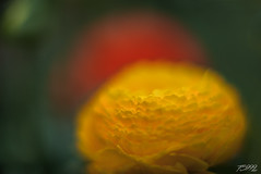Yellow Ball on Red (fs999) Tags: 100iso fs999 fschneider aficionados zinzins pentaxist pentaxian pentax k1 pentaxk1 fullframe justpentax flickrlovers ashotadayorso topqualityimage topqualityimageonly artcafe pentaxart corel paintshop paintshoppro x9ultimate paintshopprox9ultimate masterphotos fleur flower blume bloem macrolife macro makro pentaxda55mmf14sdm da55 dastar sdm 55mm f14