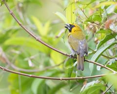 Black-faced Grosbeak (J.B. Churchill) Tags: bfag birds blackfacedgrosbeak cardinalsgrosbeaks costarica heredia laselvaotsreserve places taxonomy cr laselva