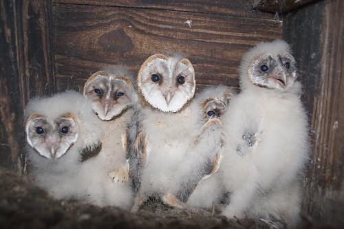 Western Barn Owl  chicks , flightless , all huddled in Nesting Box.