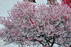Bhutanese sakura